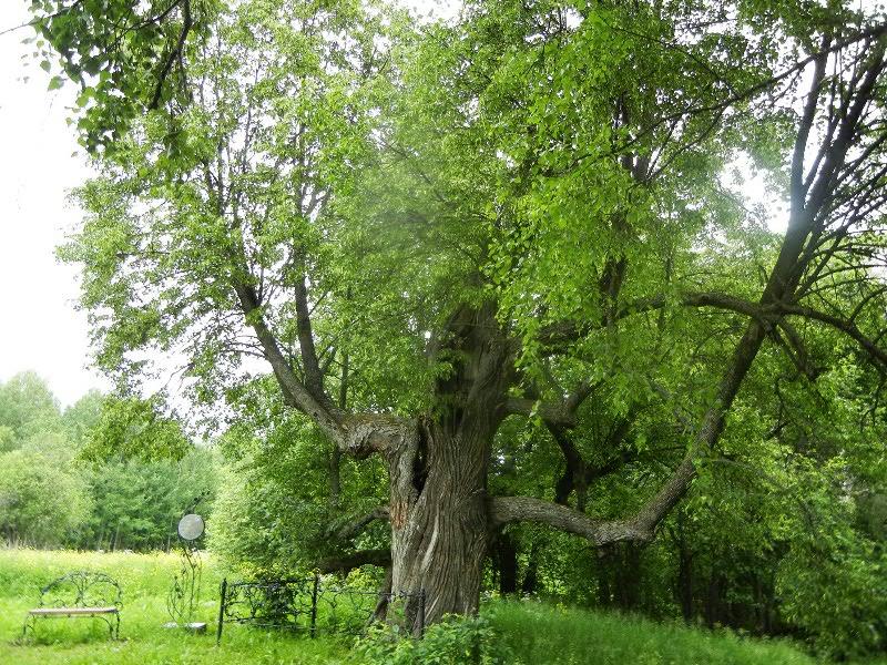 используют самые старые деревья подмосковья современной детской